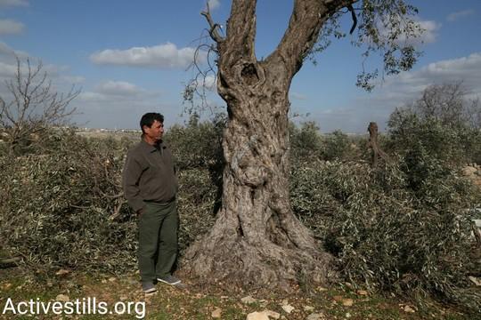 חוסאם אבו הניה מתבונן במה שנותר מהעצים שהיו נטועים על אדמתו (קרן מנור/אקטיבסטילס)