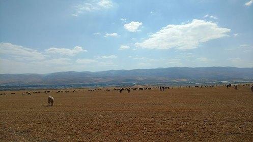 העדר של הרועים הפלסטינים מחירבת אל-דיר שקוע במרעה (צילום: אורלי נוי)