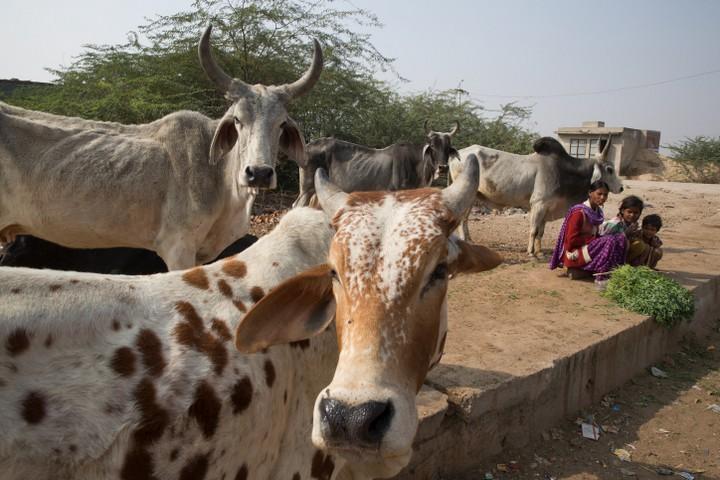 אידאל אהבת הפרה הפך למסמן את אהבת המולדת. נשים מוכרות תבלינים ופרות, רג'סטאן, הודו. ינואר 2016. (אביר סולטן / פלאש90)