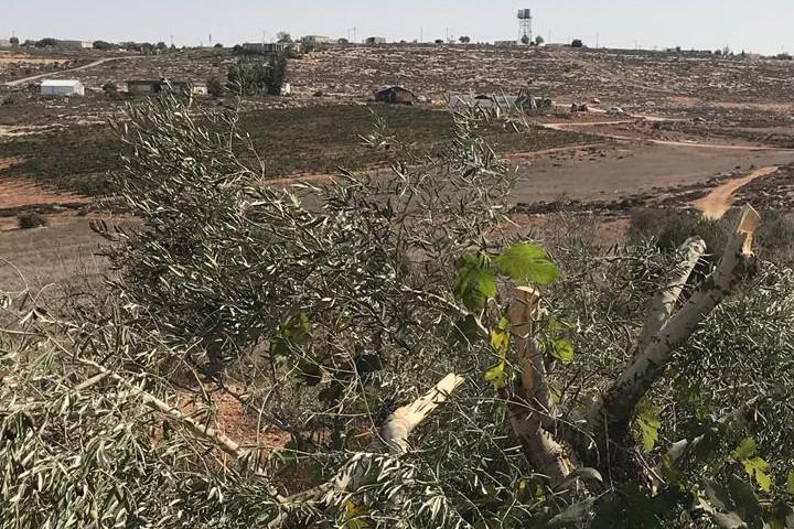 עץ זית שהושחת השבוע ליד תורמוסעיא (צילום: עוואד אבו סמרה / בצלם)