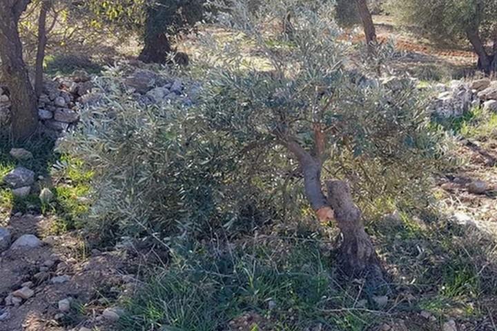 עץ זית שנכרת ליד טואנה (מועצת הכפר טוואנה)
