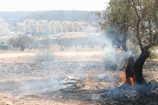 עץ זית בוער מרימון גז מדמיע בבלעין. ברקע: החומה והתנחלות מודיעין עילית (חגי מטר)