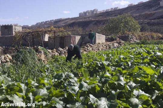 חקלאות טרסות בוואדי פוכין (אורן זיו / אקטיבסטילס)