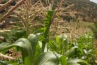 ירוק עד בעמק עין דרא (בסאם אלמוהור)
