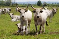 פרות ממחוז איסטריה שבקרואטיה. היו קרובות לסכנת הכחדה