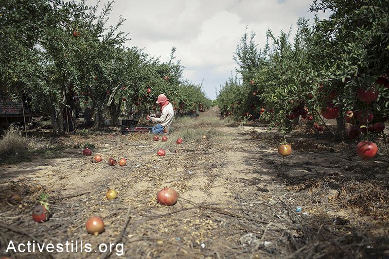 אוקטובר 2013, שדה ניצן. עובד חקלאות קוטף רימונים. (שירז גרינבאום/אקטיבסטילס)
