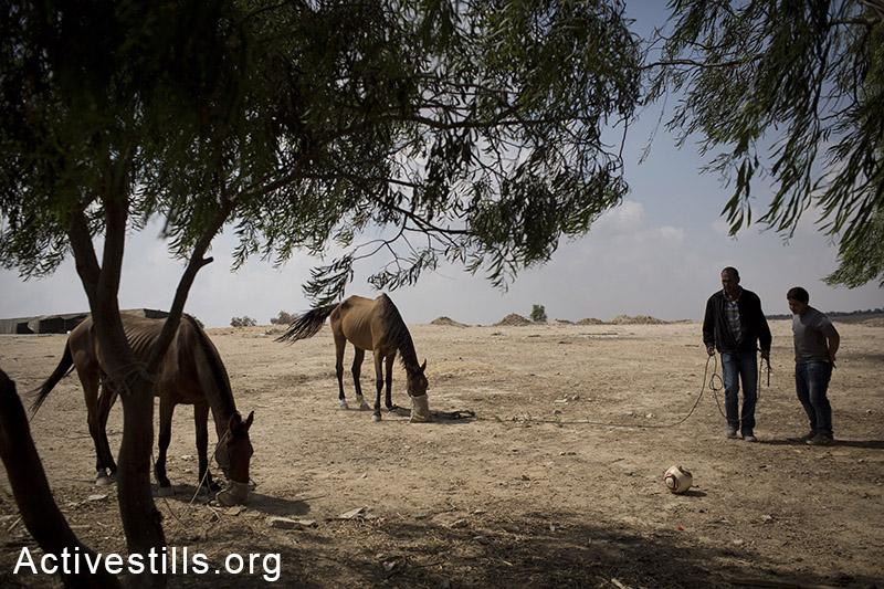 תושבי אל ערקיב מאכילים את סוסיהם. התושבים, מתגוררים כעת בבית הקברות בכפר לאחר שהמנהל האזרחי הרס את כל המבנים הארעיים. בבוקרו של ה-20 ליולי קיבלו צווי פינוי מבית הקברות, והם מצפים לפינוי בכוח בכל רגע. ה-20 ליולי, 2014. (אורן זיו/אקטיבסטילס)