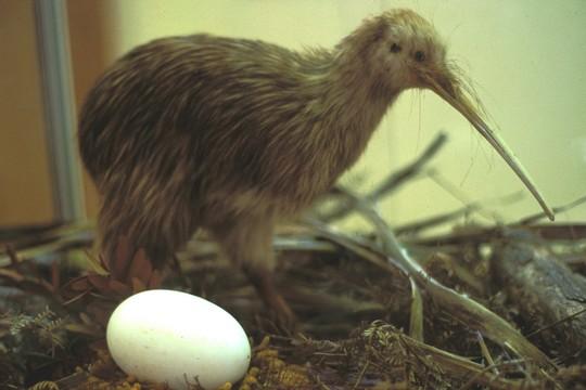 ציפור קיווי וביצה (ויקימדיה קומונס, Stewart Island CC BY-SA 2.5)