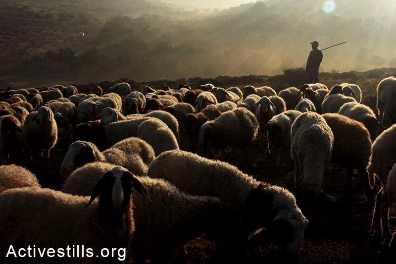 פלסטיני רועה את כבשיו בכפר סאלם הסמוך לשכם בזמן מסיק הזיתים. 10 באוקטובר, 2014. תושבי הכפר הורשו לעבוד באדמתם 5 ימים בלבד בשנה הנוכחית. (אחמד אל-באז/אקטיבסטילס)