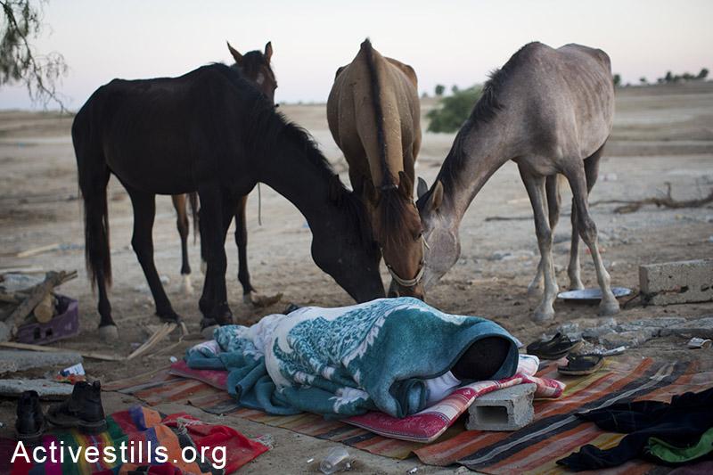 סוסים אוכלים שאריות אבטיח ליד תושב אל-ערקיב שנותר לישון ללא קורת גג, לאחר ההריסה ה 75 בכפר, 15 ביוני, 2014. (אורן זיו/אקטיבסטילס)