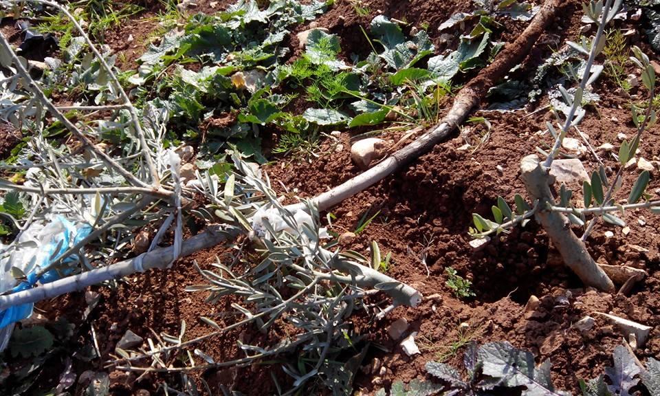 שתיל עץ זית כרות, תורמוסעיא (זאכריה סדה, רבנים לזכויות אדם)