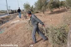 חקלאי פלסטיני מפנה עץ זית כרות (ריאן רודריק ביילר / אקטיבסטילס)