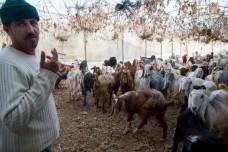 אבו אל-עבד והעזים בחממה (בסאם אלמוהור)