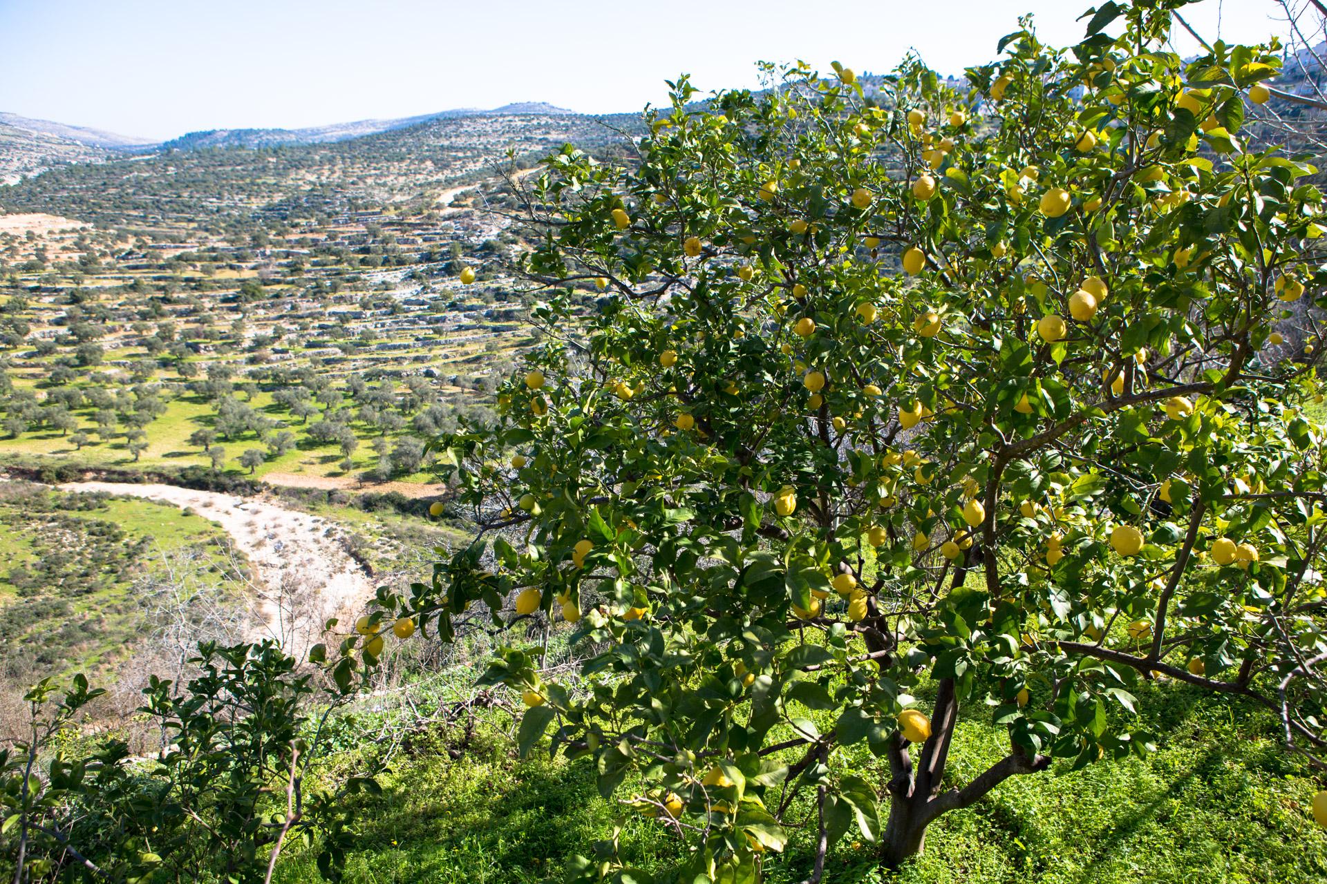 עין ליימון, ליד מזארע אל-נובאני (בסאם אלמוהור)