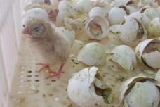 אפרוחים מיועדים לגריסה במדגרת רמת הכובש (צילום: החזית לשחרור בעלי חיים)