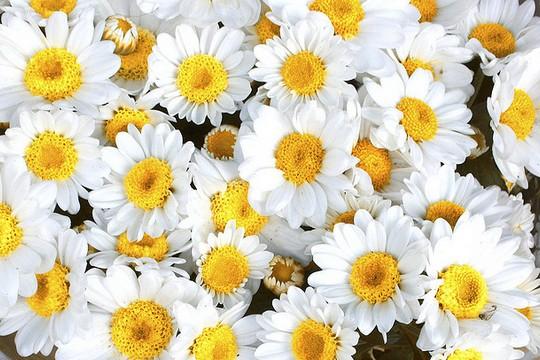 פרחים לאלינור דוידוב ומיה דנון (Anderson Mancini CC BY 2.0))