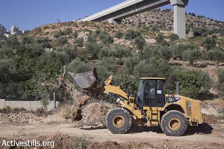 טרקטור ישראלי סוחב עצי זית כרותים במהלך עבודות תשתית בבית ג׳אלה, ליד ההתנחלות הלא-חוקית גילה ליד בית לחם, 20 אוגוסט, 2015. (אורן זיו / אקטיבסטילס)