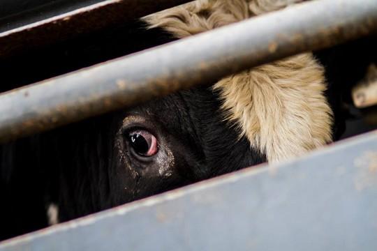משלוחים של פרות (קירות שקופים)