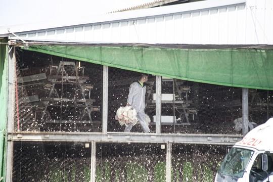 השמדת תרנגולות (קירות שקופים)