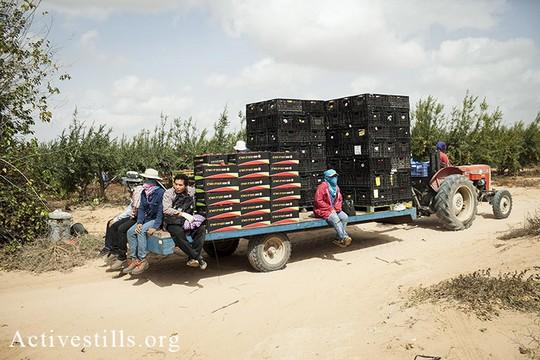 ארכיון: עובדי חקלאות תאילנדים נוסעים על טרקטור בתחילת יום עבודה במושב (שירז גרינבאום/אקטיבסטילס)