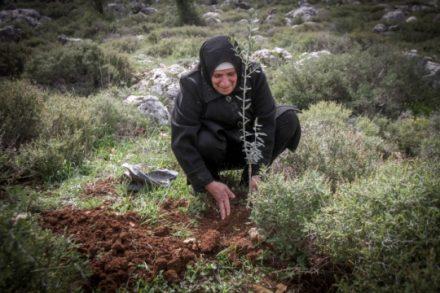 פלסטינית נוטעת עץ זית ליד ההתנחלות תפוח, לאחר עקירות והרס שזרעו המתנחלים (צילום: נאסר אסתיה, פלאש90)