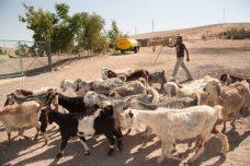 ילד רועה צאן בח'אן אל-אחמר. המעבר יהרוס את הפרנסה המסורתית (צילום: ריאן רודריק ביילר/אקטיבסטילס)