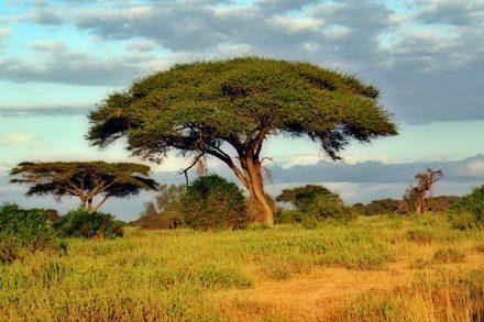 בעניין הייעור, כמו תמיד, הצפון מתכנן תכנונים על אפריקה בלי להתייעץ בתושביה. עצים בקניה (צילום: פרנצ'סקו סאקליונה BY CC 2/0)