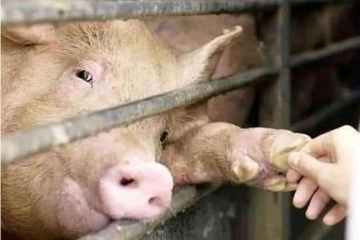 תעשיית הבשר רוצה שנתעלם מהמבט של הזולת שנשקף מעיני החיות. (צילום: Animal Save Movement, azul cardozo)