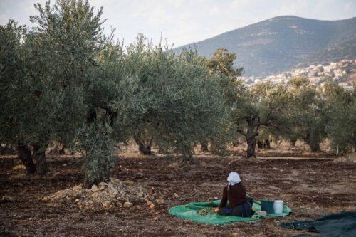 משפחה דרוזית מבית ג'אן מוסקת זיתים באדמתה, בנובמבר 2018 (צילום: הדס פארוש / פלאש90)