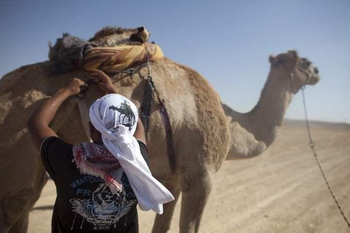 לפי ישראל, הגמלים הם סוגל של פולש זר. בדואי עם גמל בנגב. למצולם אין קשר לכתבה (צילום: ליאור מזרחי / פלאש 90)