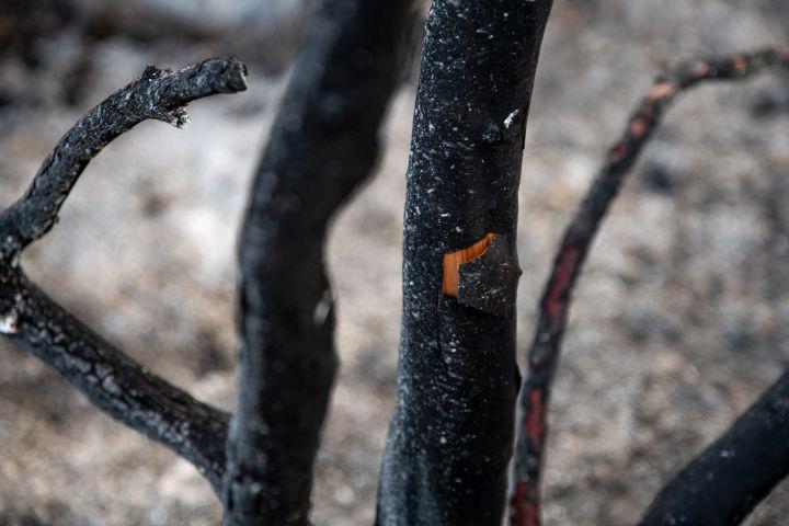 איצטרובל, צנובר וגזע עץ קטלב אחרי השריפה (צילום: מתן גולן)