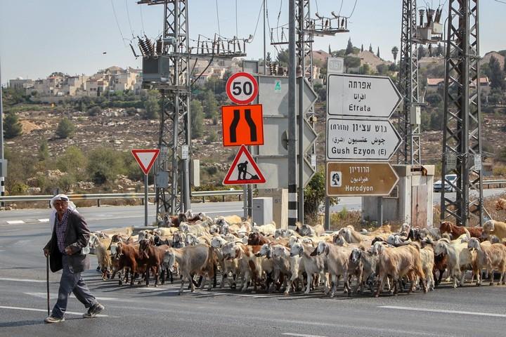 רועה פלסטיני בגוש עציון (צילום: גרשון אלינסון / פלאש90)